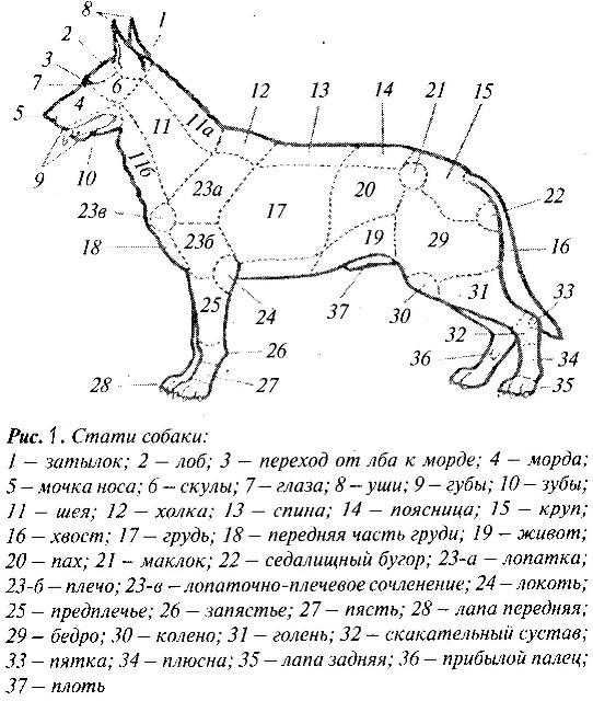 Экстерьер собак понятие